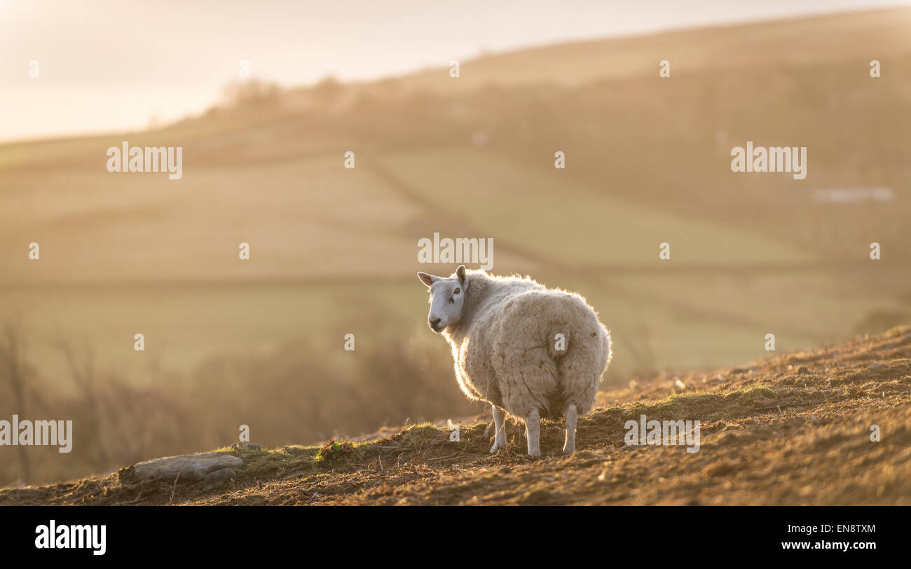 A solitary sheep overlooks the North Yorkshire moors at sunrise. Stock Photo