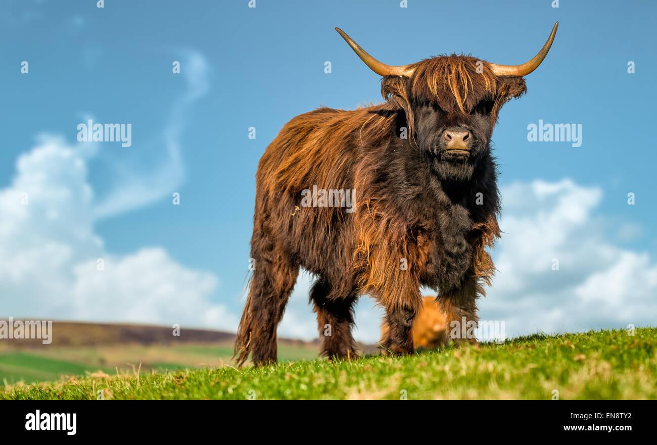A highland bull bathes in sunshine, North Yorkshire, England. Stock Photo