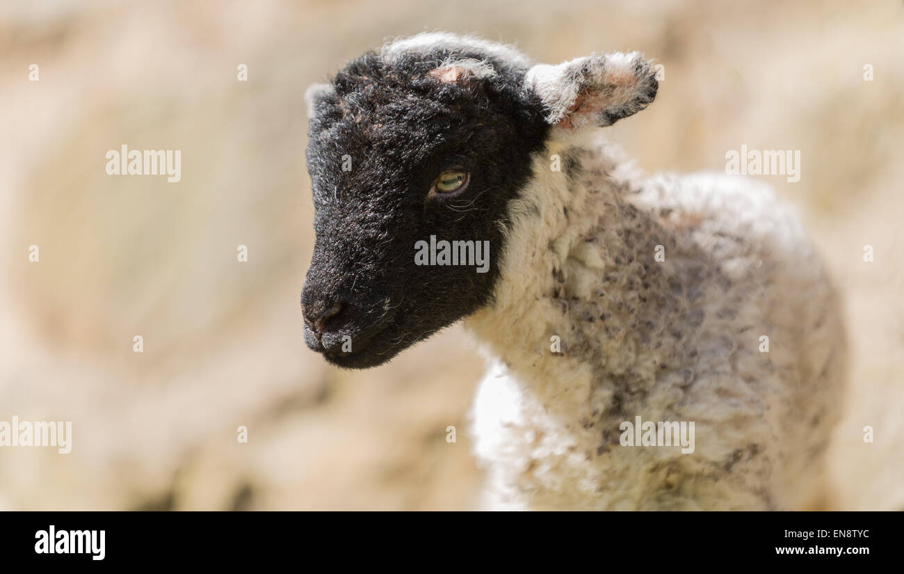 A 24 hour old lamb ventures out into the bright spring sunshine for the first time. Stock Photo