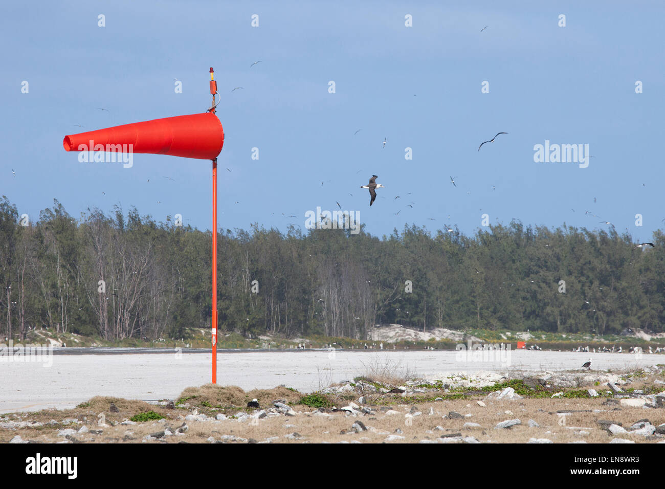 Laysan Albatrosses flying over an airport runway, Henderson Field - Stock Image