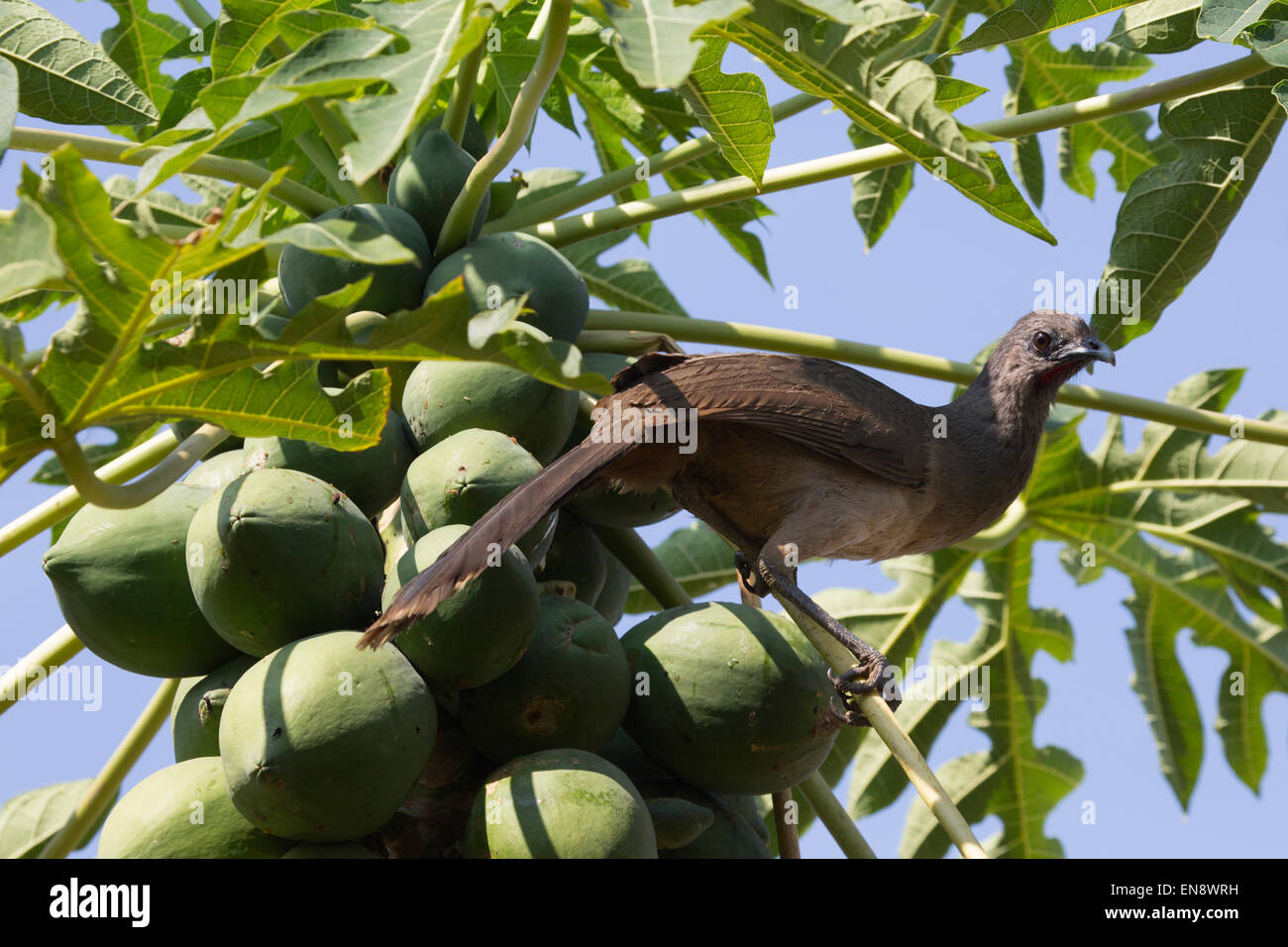Plain Chachalaca (Ortalis vetula) perched in papaya tree at Sandos Caracol eco resort - Stock Image