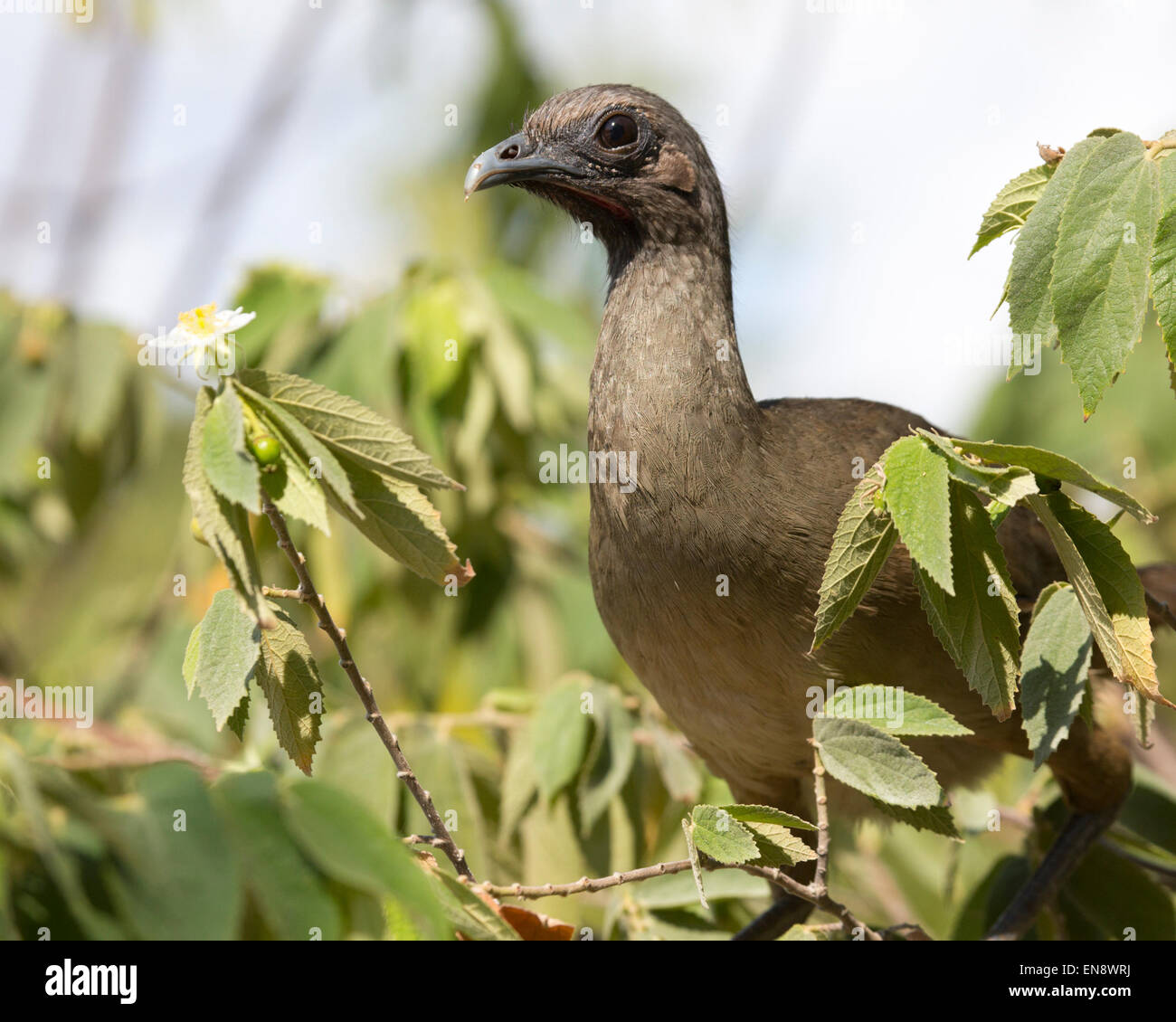 Plain Chachalaca (Ortalis vetula) perched in tree - Stock Image