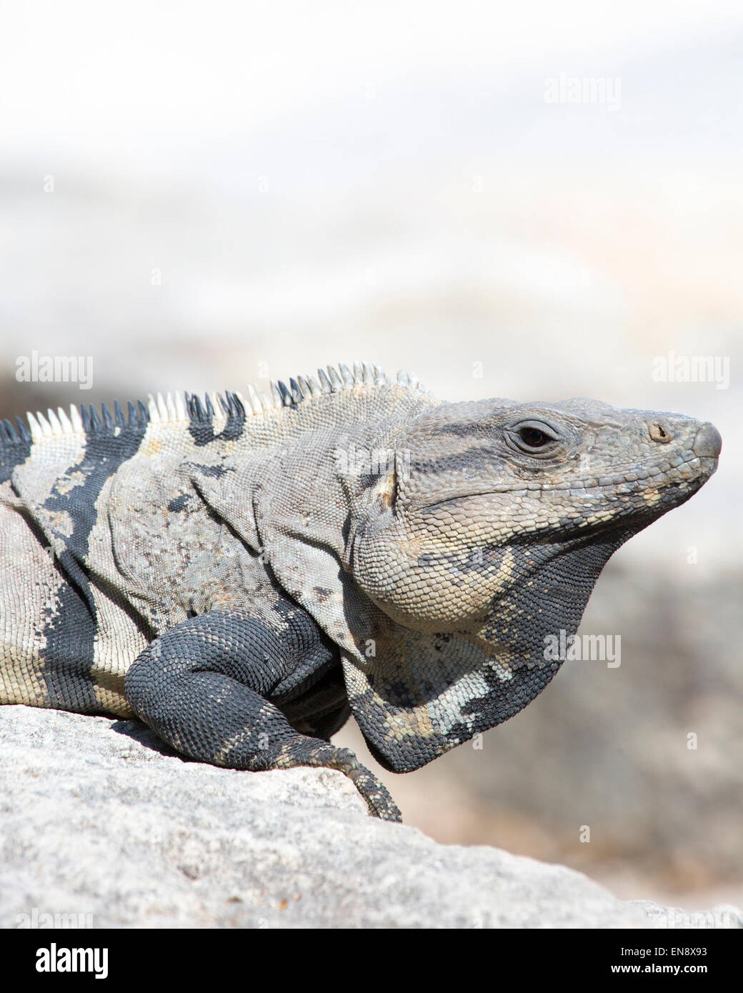 Black Spiny-tailed Iguana (Ctenosaura similis) at Sandos Caracol Eco Resort on the Yucatan peninsula - Stock Image