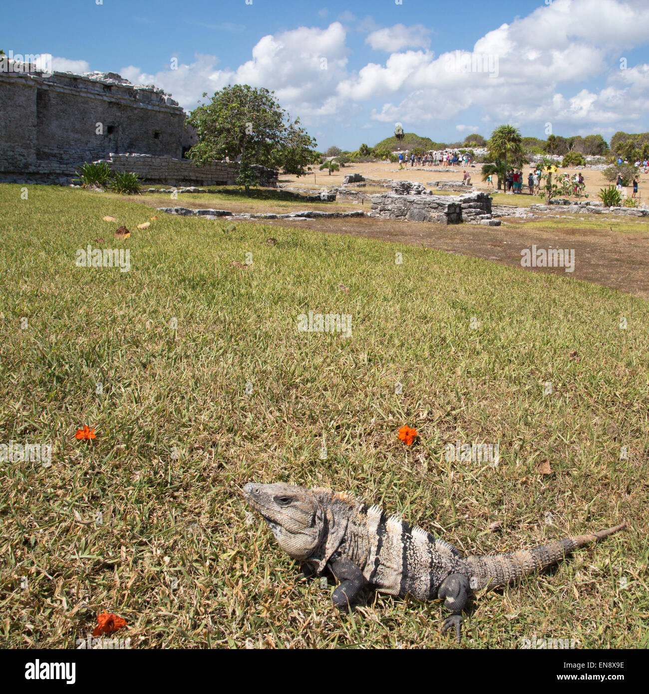 Black Spiny-tailed Iguana (Ctenosaura similis) basking at Tulum, a Pre-Columbian Mayan archaeological site on the - Stock Image