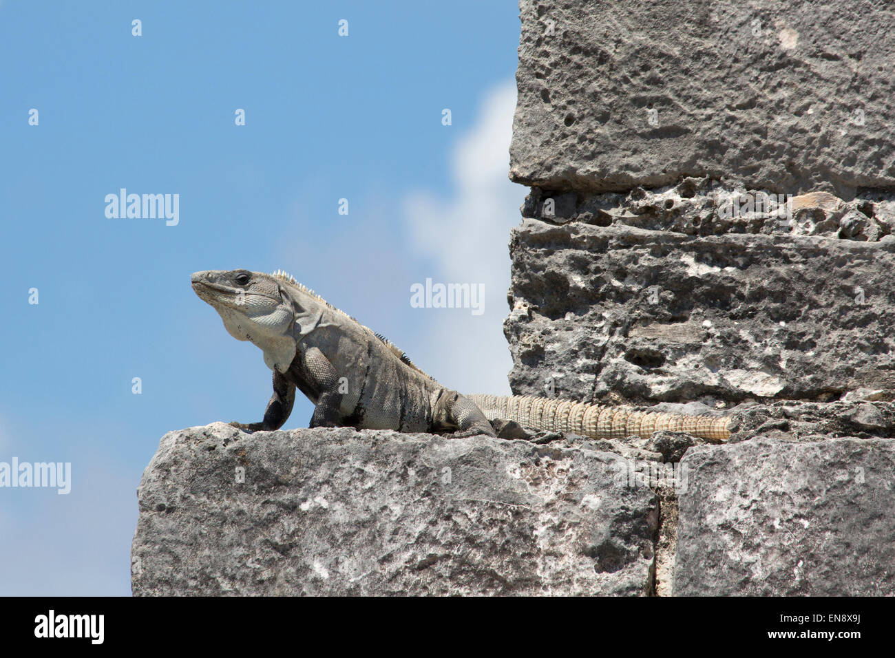 Black Spiny-tailed Iguana (Ctenosaura similis) basking in a window at Tulum, a Pre-Columbian Mayan archaeological - Stock Image