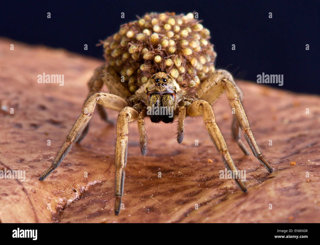 Wolf spiders carry their babies on their back as an extra protection against any would be predators. - Stock Image