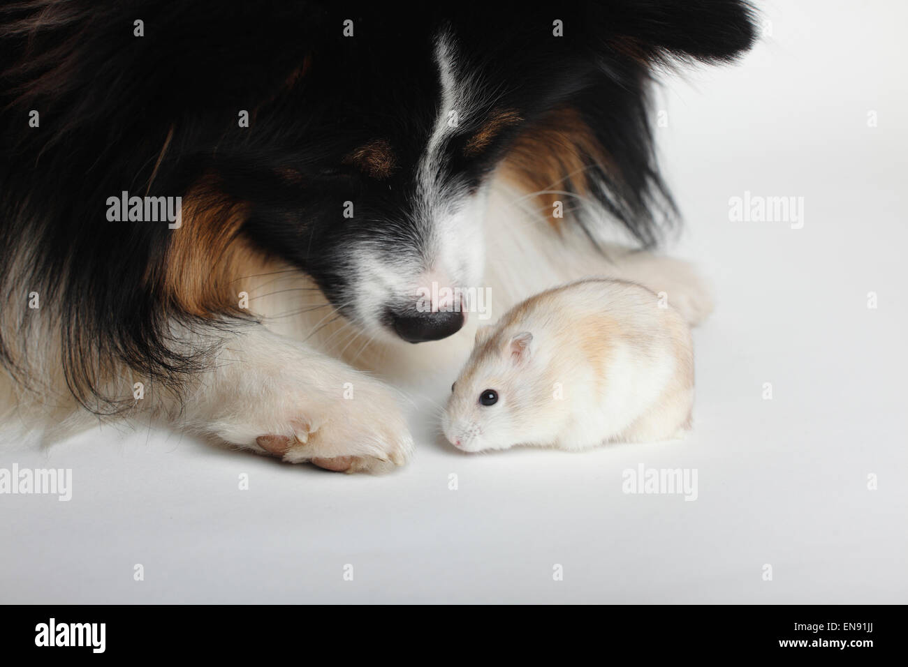 Russian Dwarf Hamster / (Phodopus sungorus) Dsungarischer Zwerghamster / (Phodopus sungorus) - Stock Image
