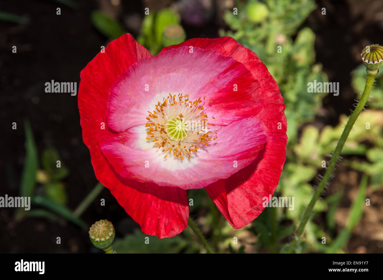 Close Up Poppy Flowers In Stock Photos Close Up Poppy Flowers In