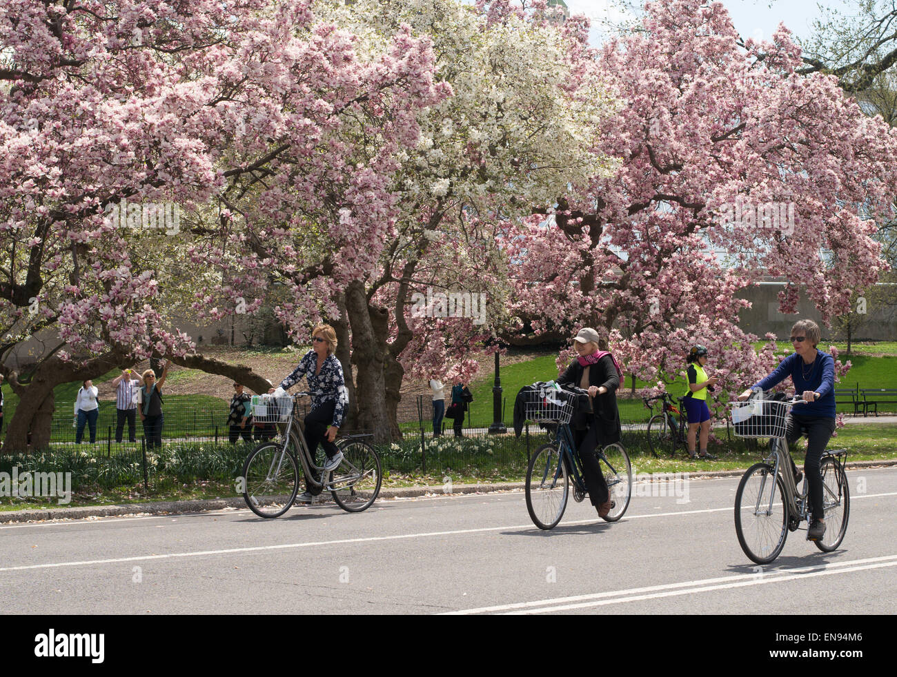 Three mature ladies cycling past spring blossom in Central Park, NYC, USA - Stock Image