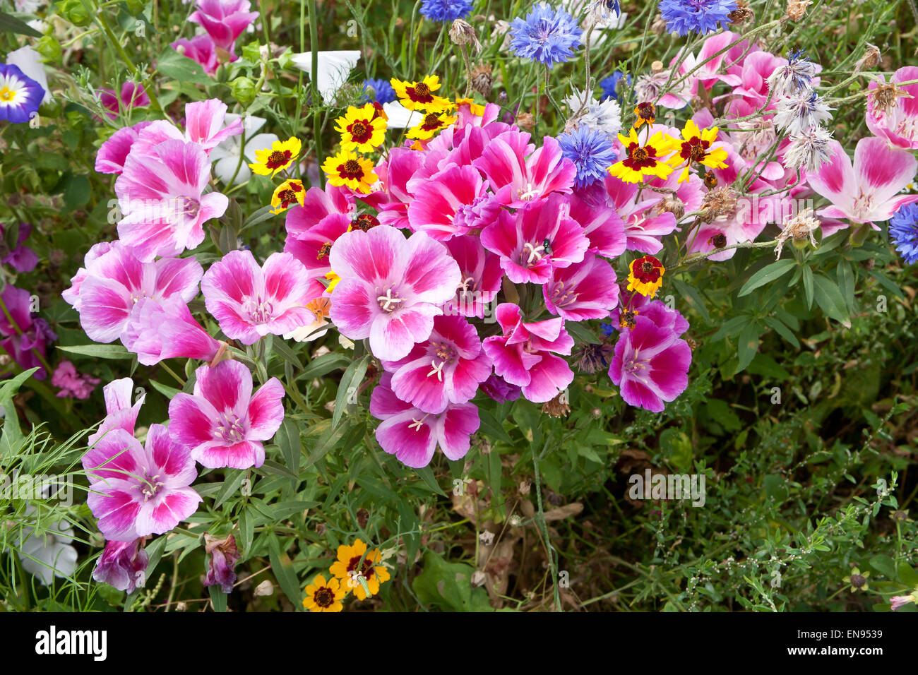Section of wild flower meadow in bloom. Stock Photo