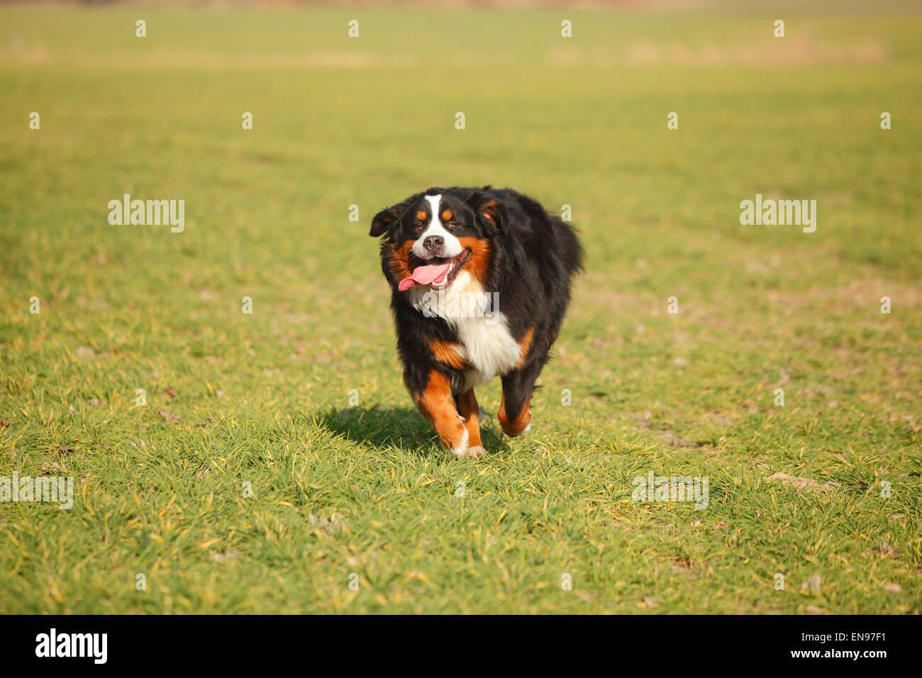 Bernese Moutain Dog, male dog Berner Sennenhund, Ruede - Stock Image