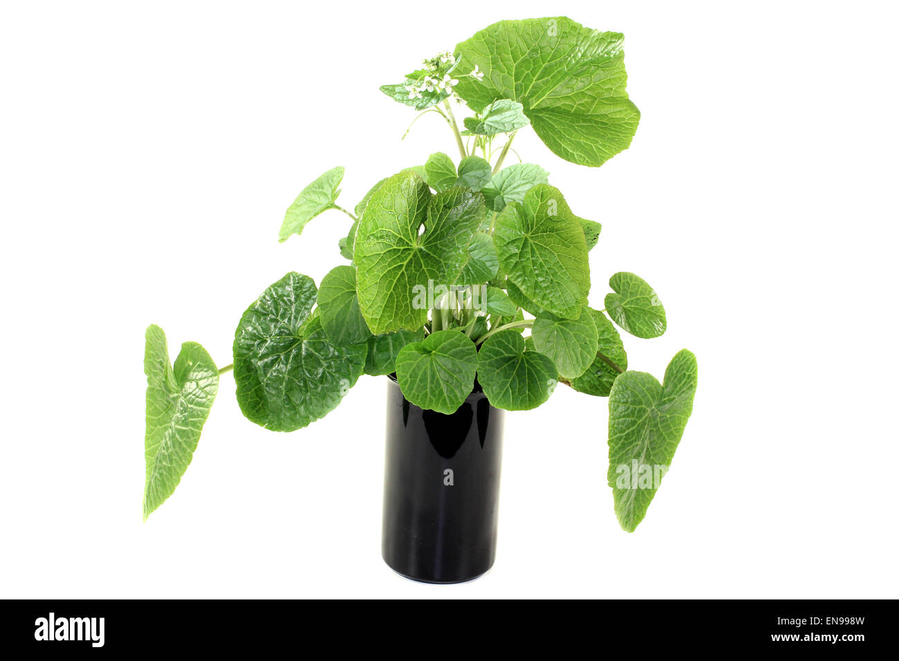 green wasabi leaves with blossoms on a bright background Stock Photo
