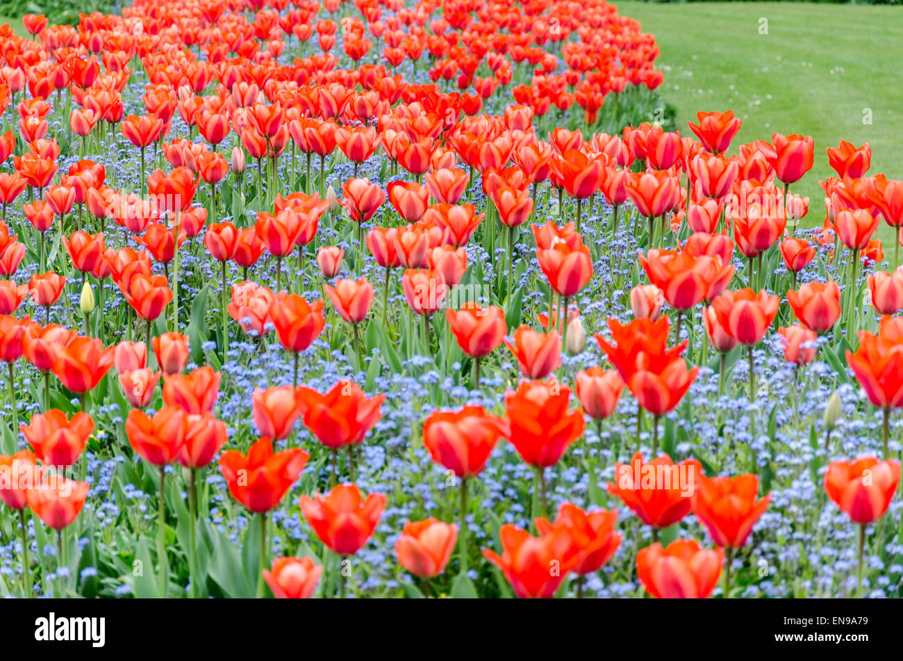Red tulips in St James's Park, London, UK Stock Photo