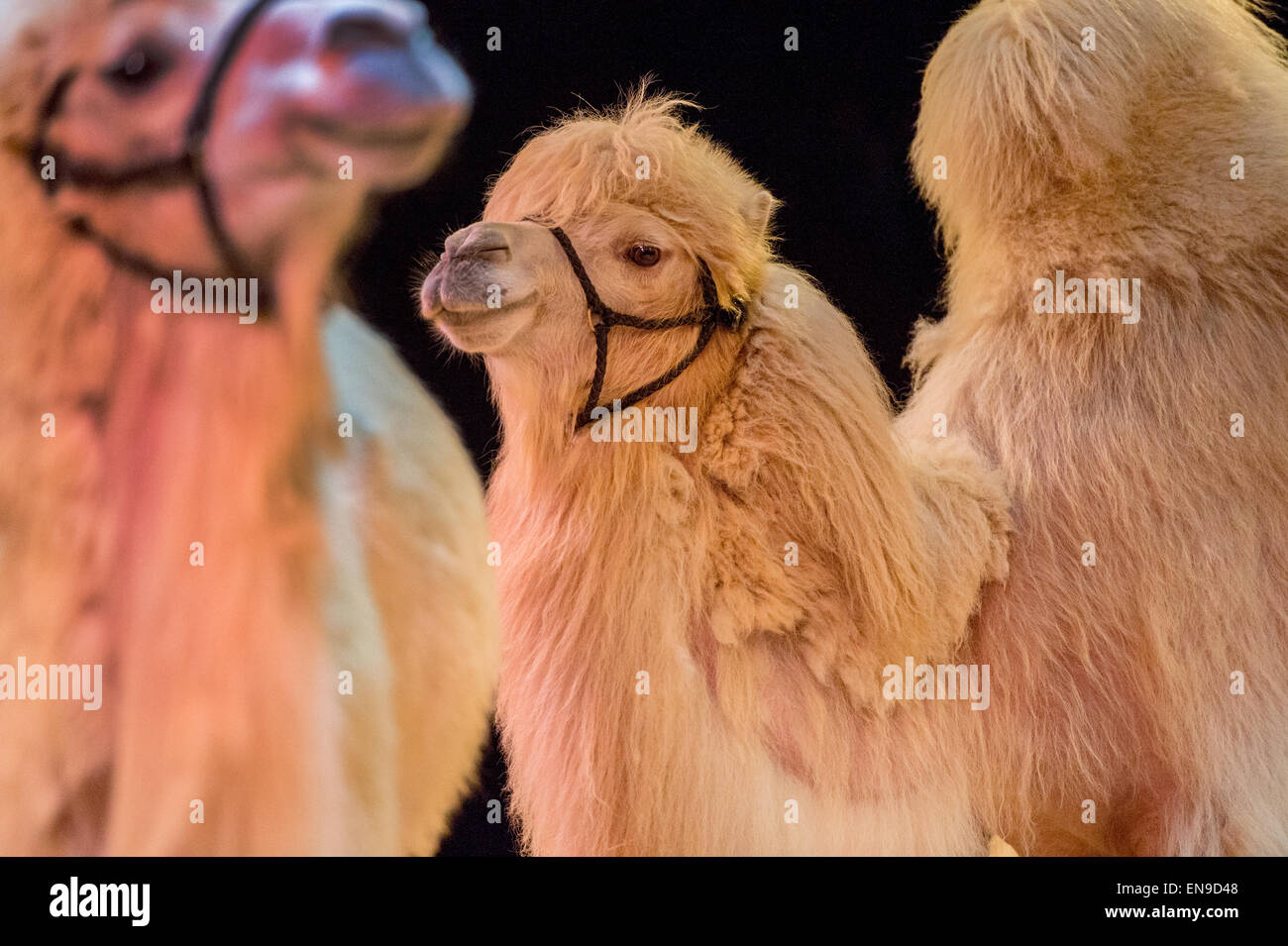 Two camels - Stock Image