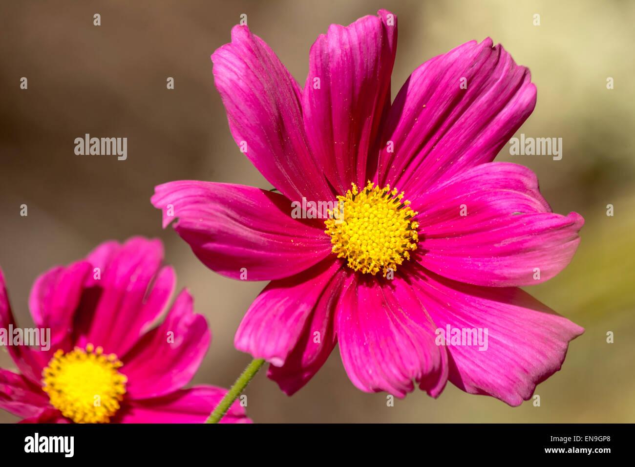 Fully open magenta cosmos bipinnatus (Dazzler) blossoming in Spring under sunlight (close-up photo) - Stock Image