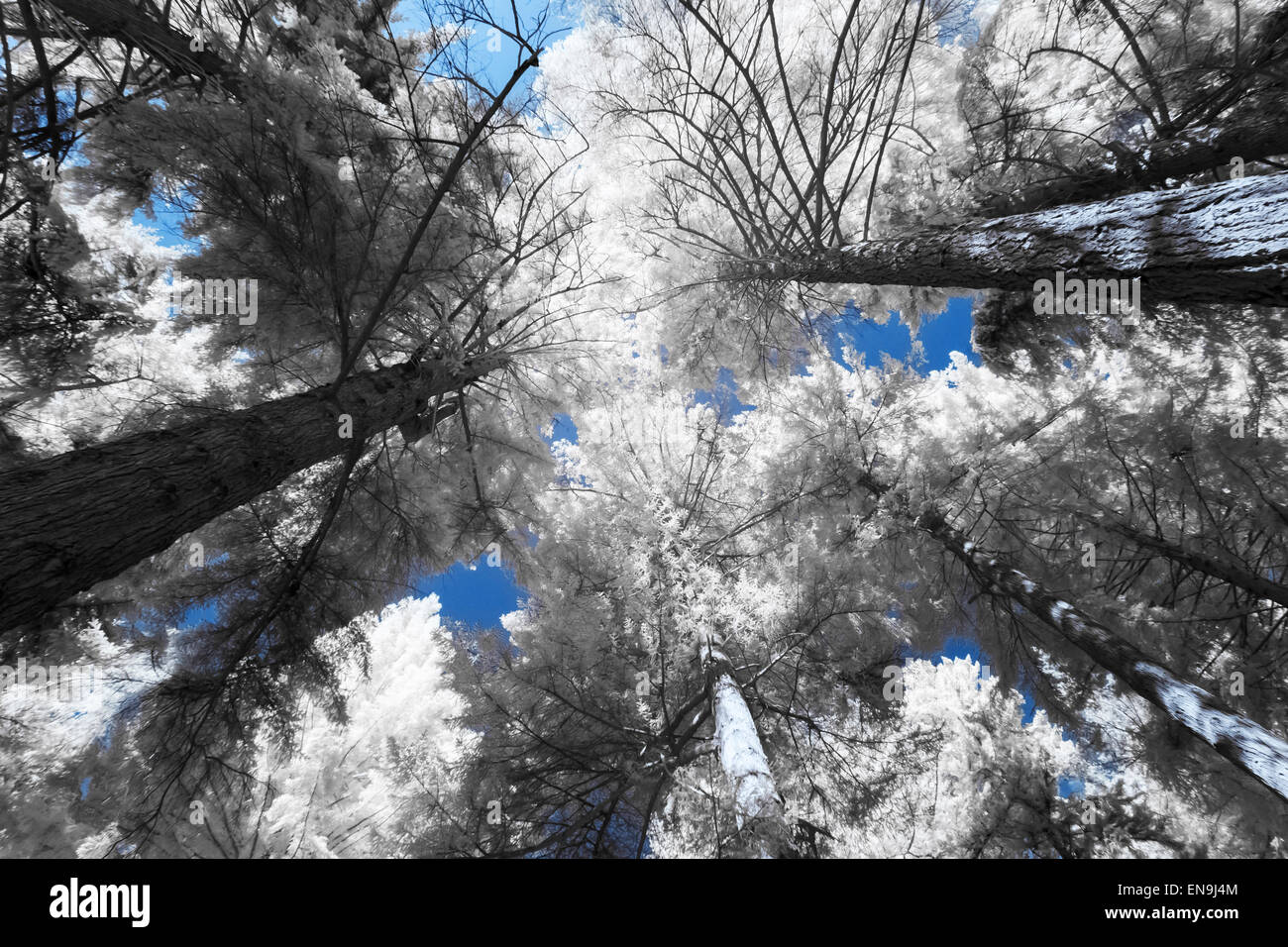 False Colour Infra Red Image Looking Upwards to Tree Canopy - Stock Image & False Canopy Stock Photos u0026 False Canopy Stock Images - Alamy