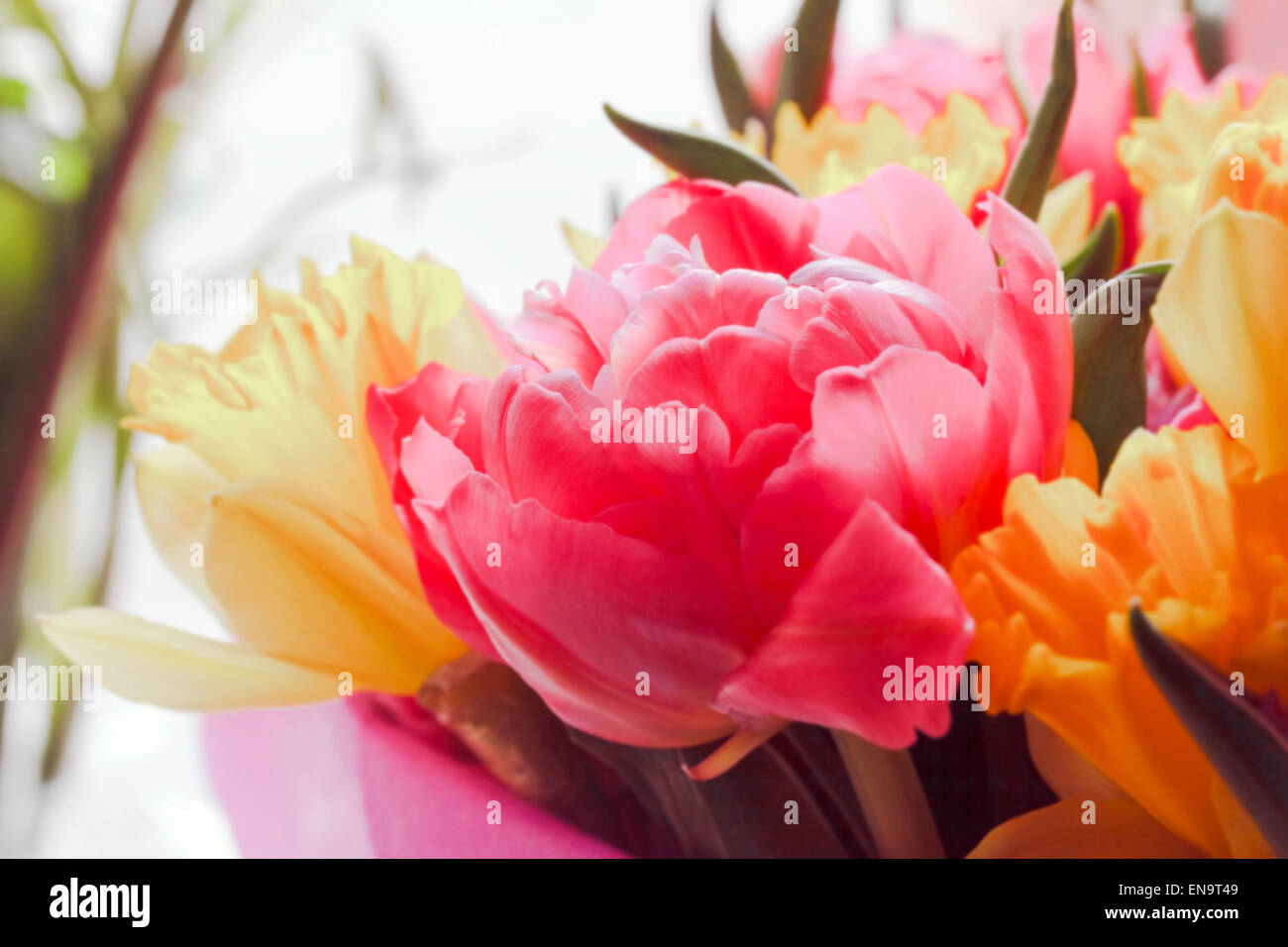 Beauty bouquet large colorful spring tulips in sunlight - Stock Image