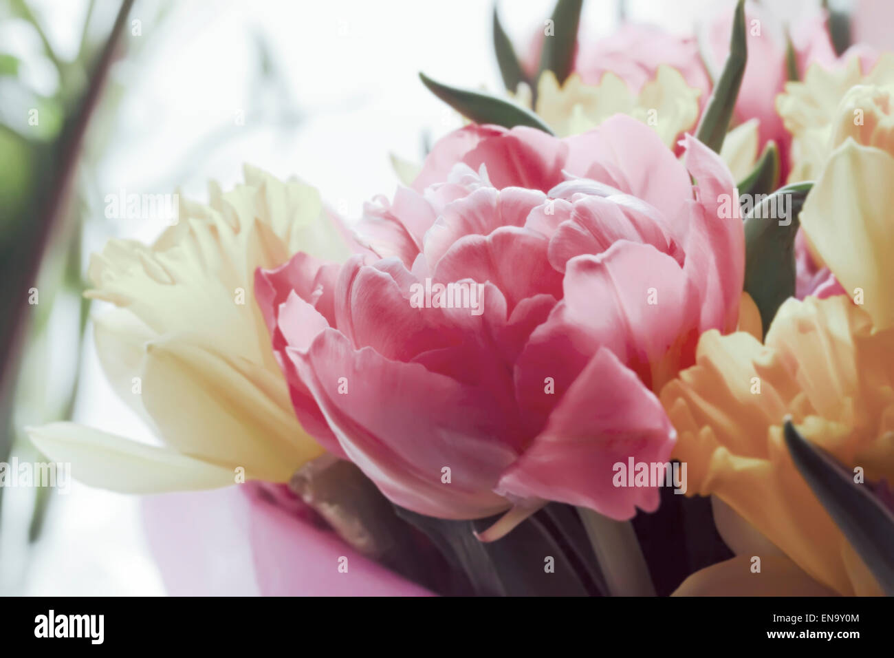 Beauty bouquet large colorful spring tulips in little sunlight - Stock Image