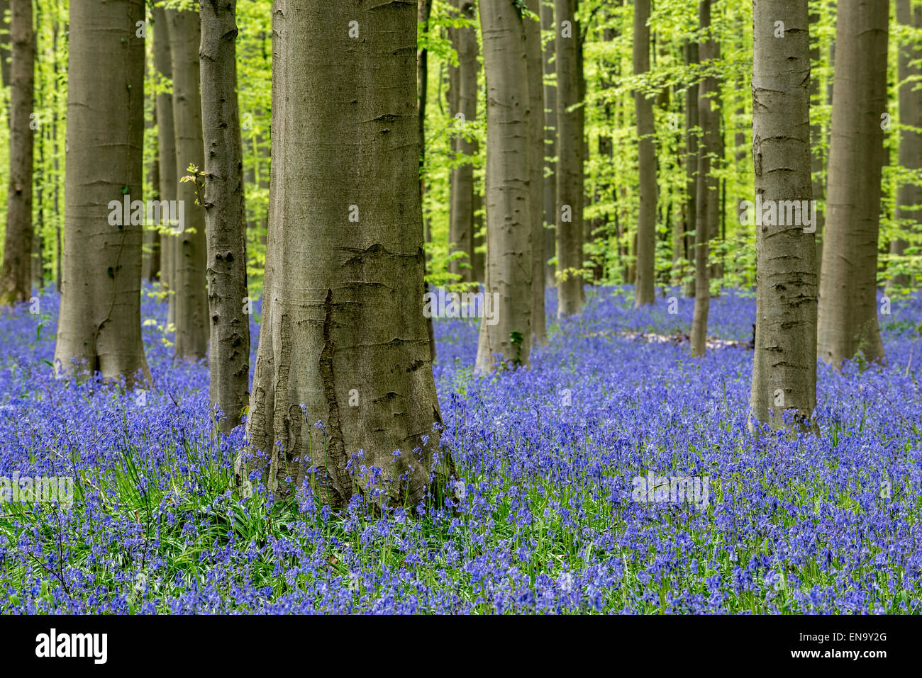 Bluebells (Endymion nonscriptus) in flower in beech forest (Fagus sylvatica) in spring - Stock Image