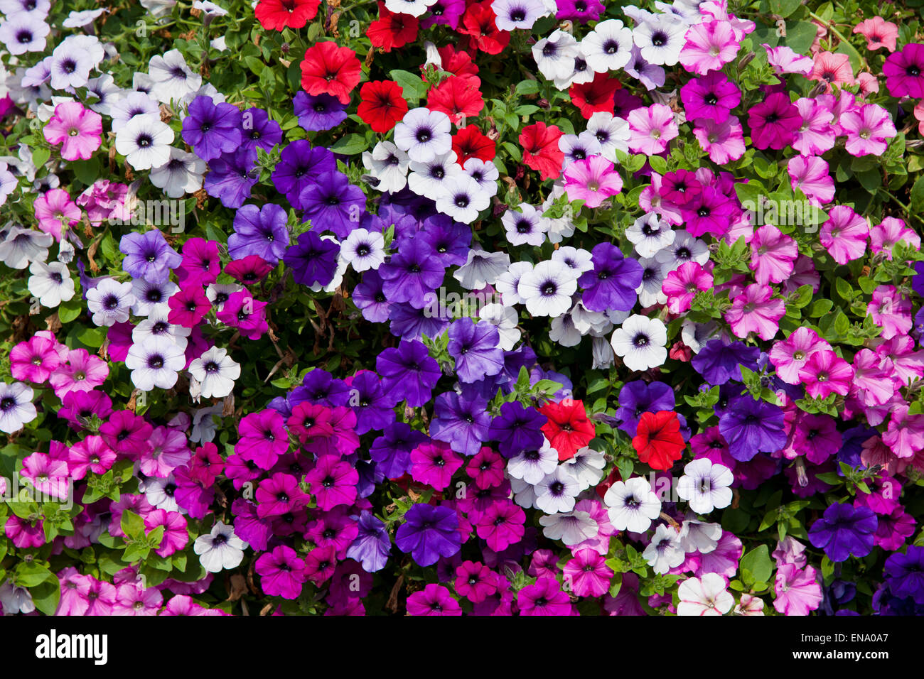 detail of trailing petunia in pink, mauve, white, red and violet - Stock Image
