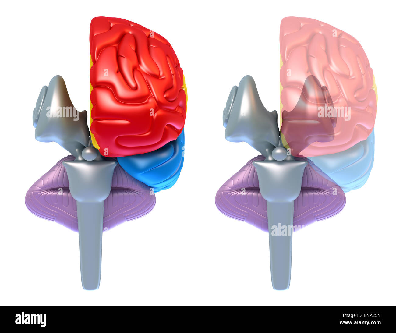 Brain lobes and cerebellum, front view isolated on white - Stock Image