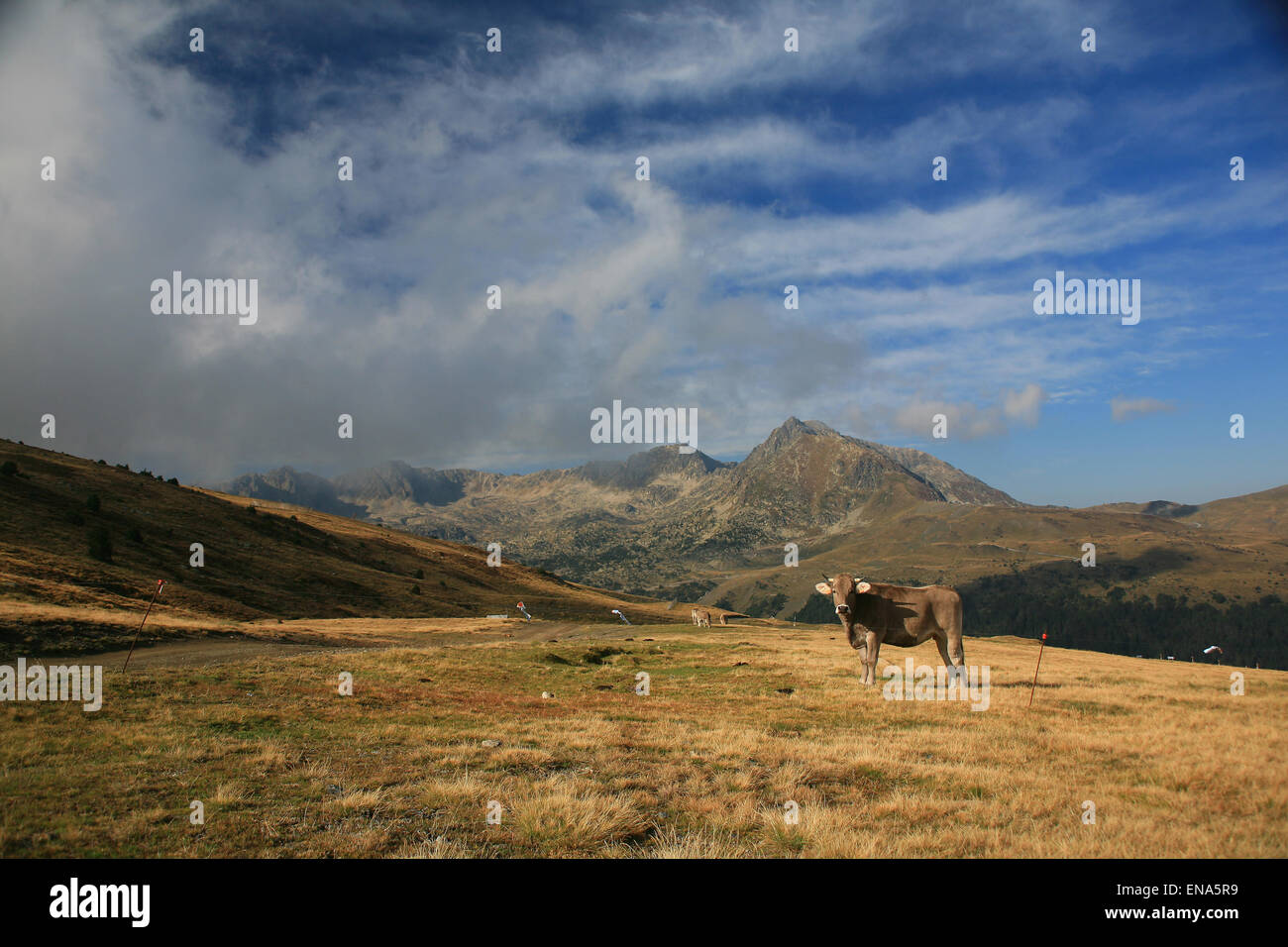 Pyrenees mountains on the France Spain border near Andorra with cow grazing in the high alpine pastures. Stock Photo