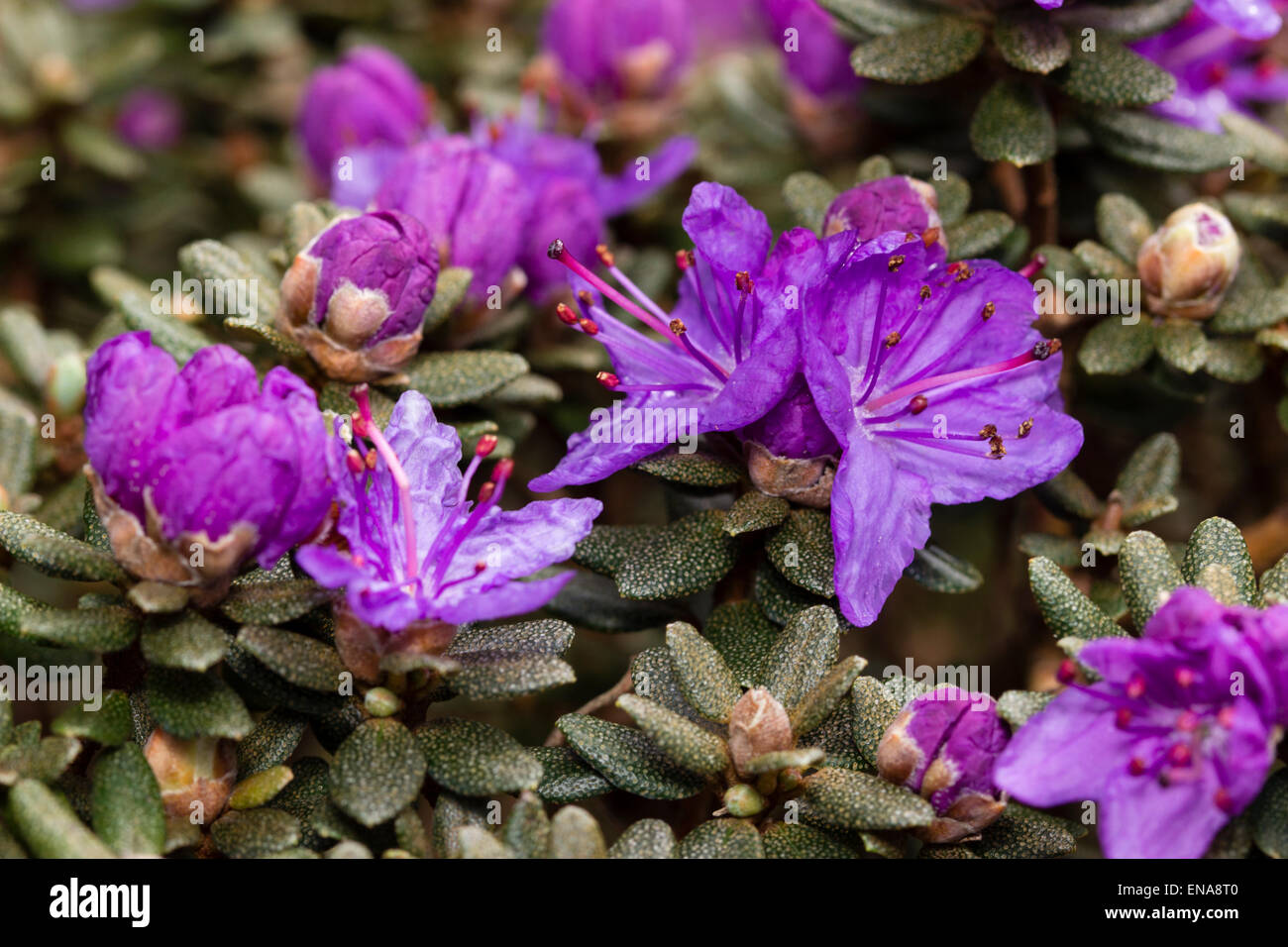 Spring flowers and scaly foliage of Rhododendron impeditum 'Indigo' - Stock Image