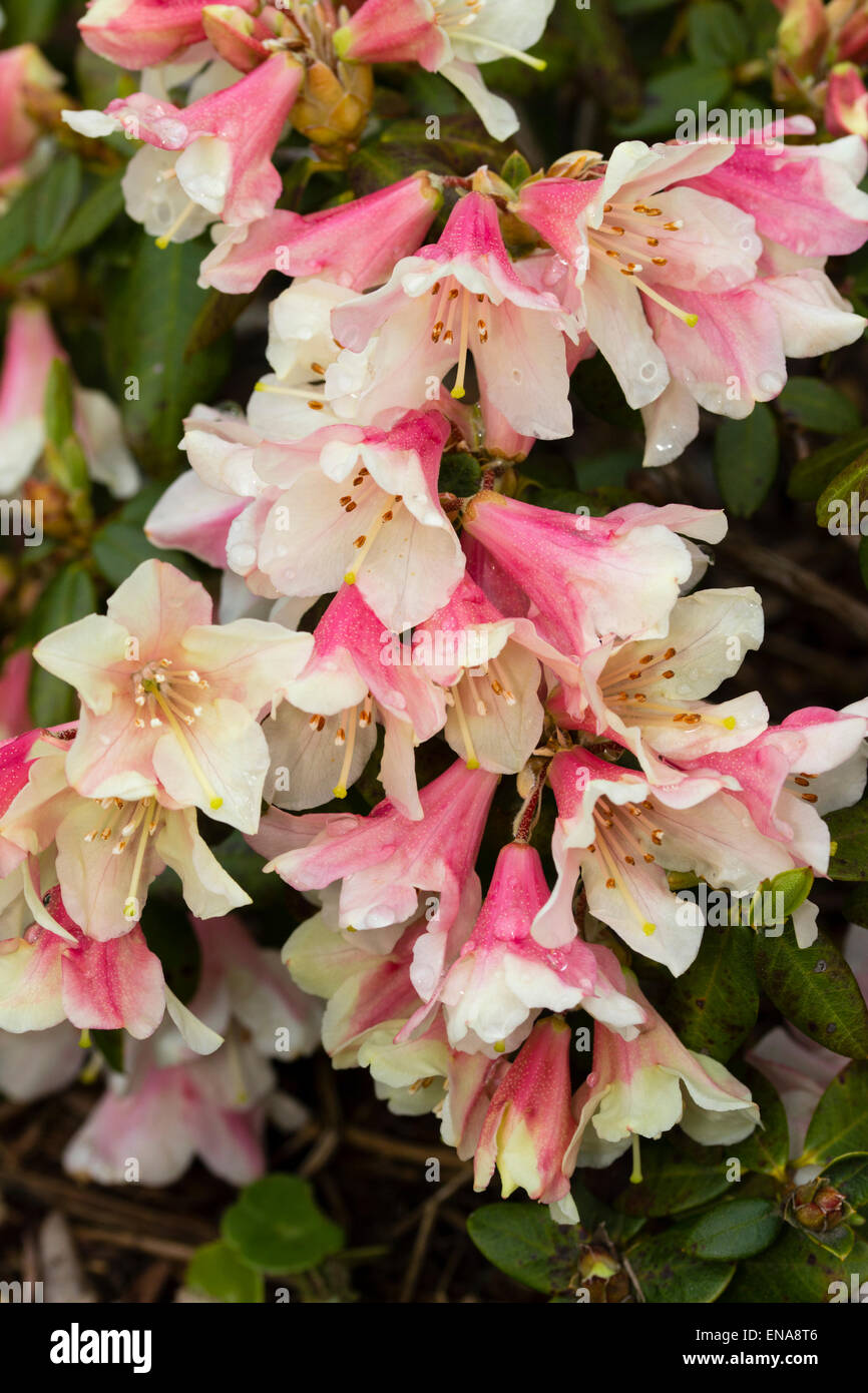 Spring flowers of Rhododendron 'Tree Creeper' - Stock Image