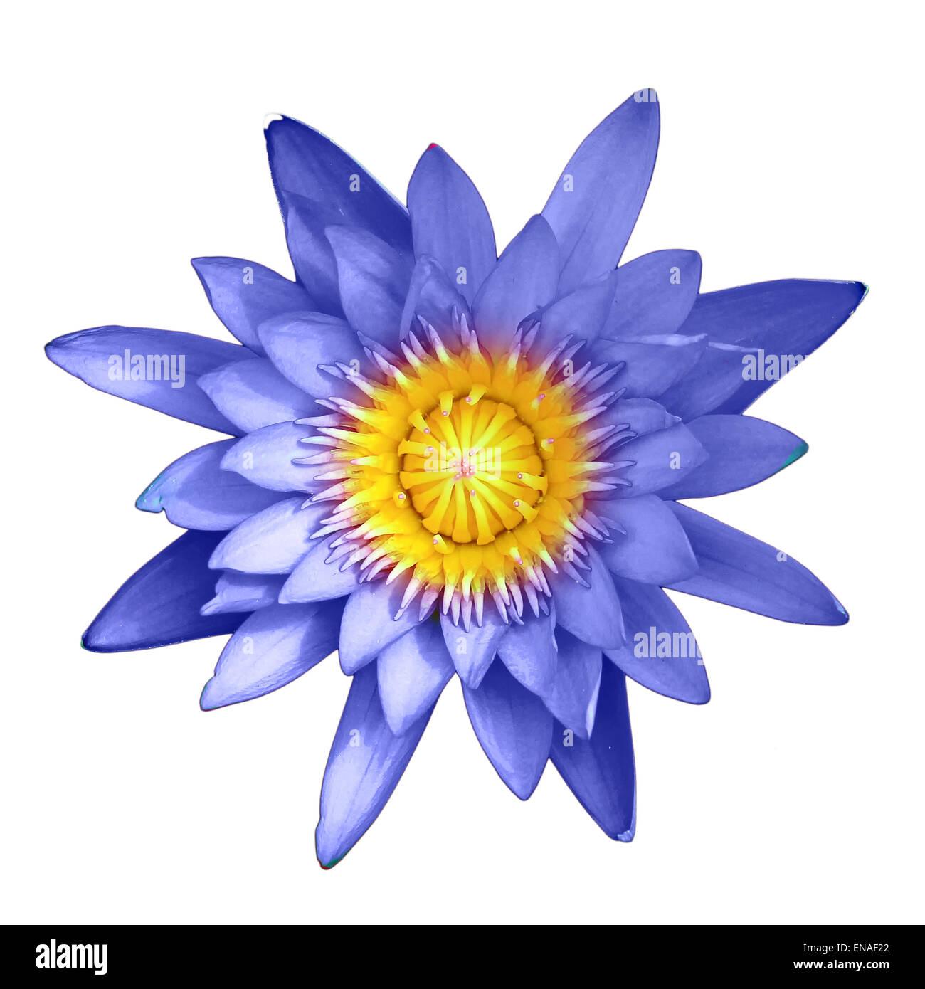Blue Lotus Flower Isolated On White Background Stock Photo 81980586