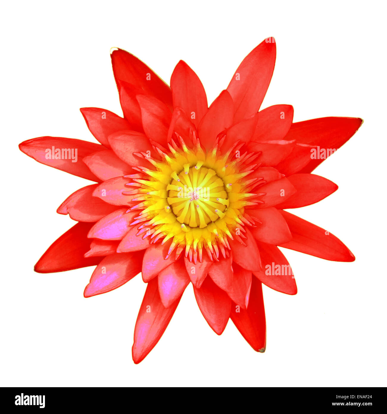Red lotus flower isolated on white background stock photo 81980588 red lotus flower isolated on white background mightylinksfo