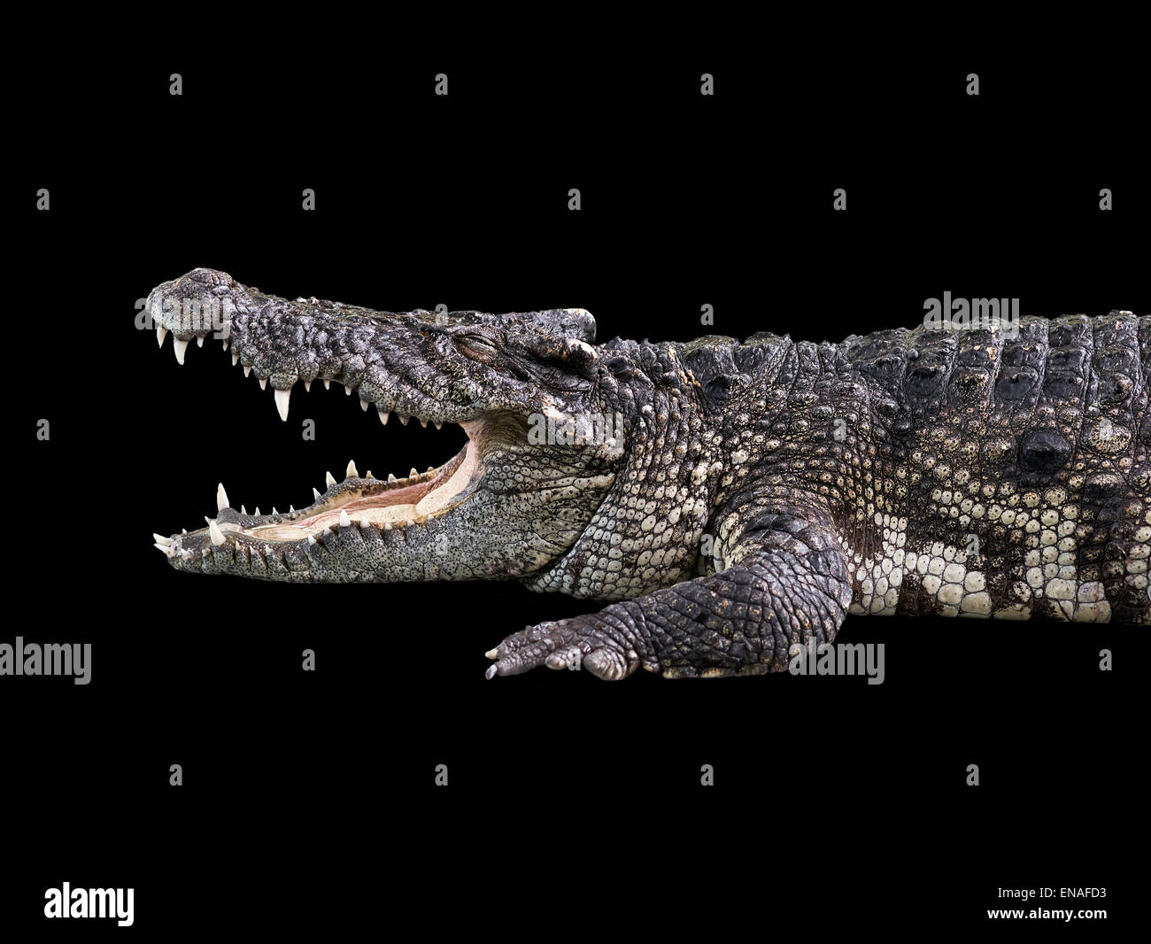 Crocodile with mouth open against a black background. Cut-out. - Stock Image