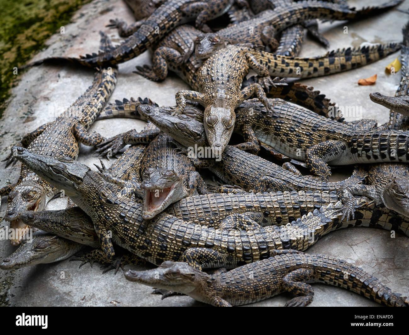 Baby crocodiles - Stock Image