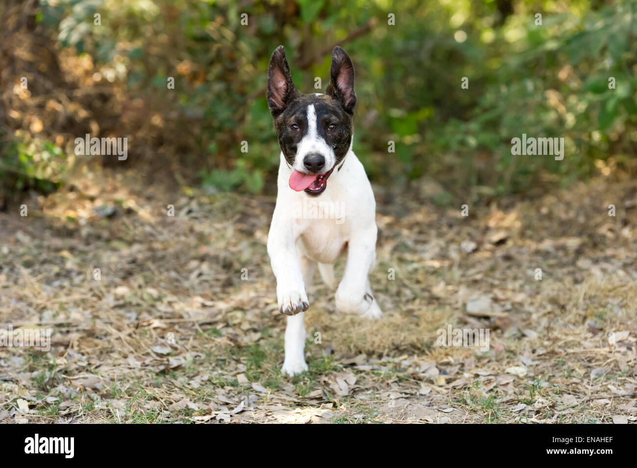 A Happy excited young dog is running and jumping outdoors with his tongue hanging out. - Stock Image