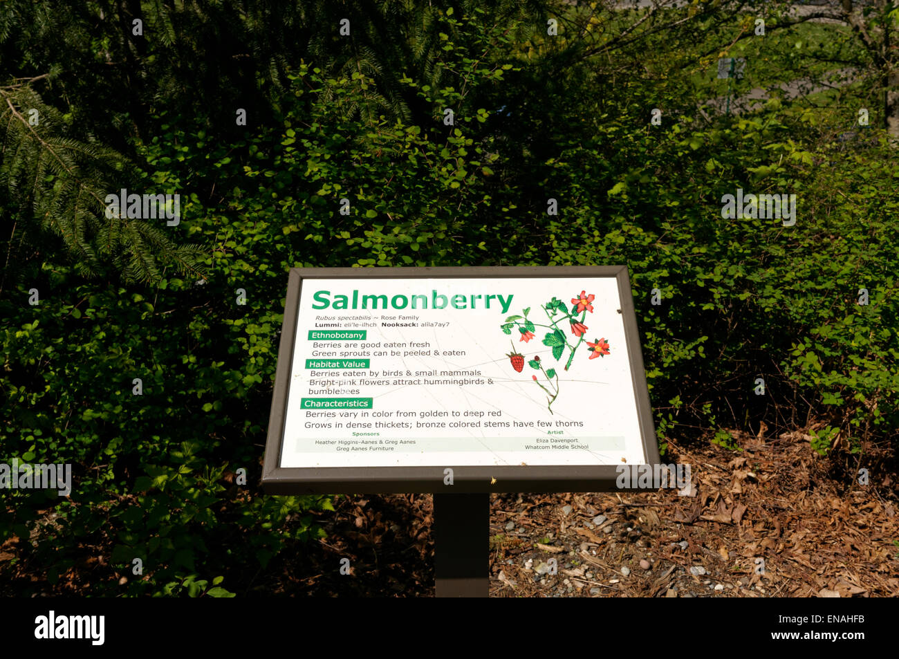 Salmonberry interpretive sign on a nature trail in the Maritime Heritage Park, Bellingham, Washington, USA - Stock Image