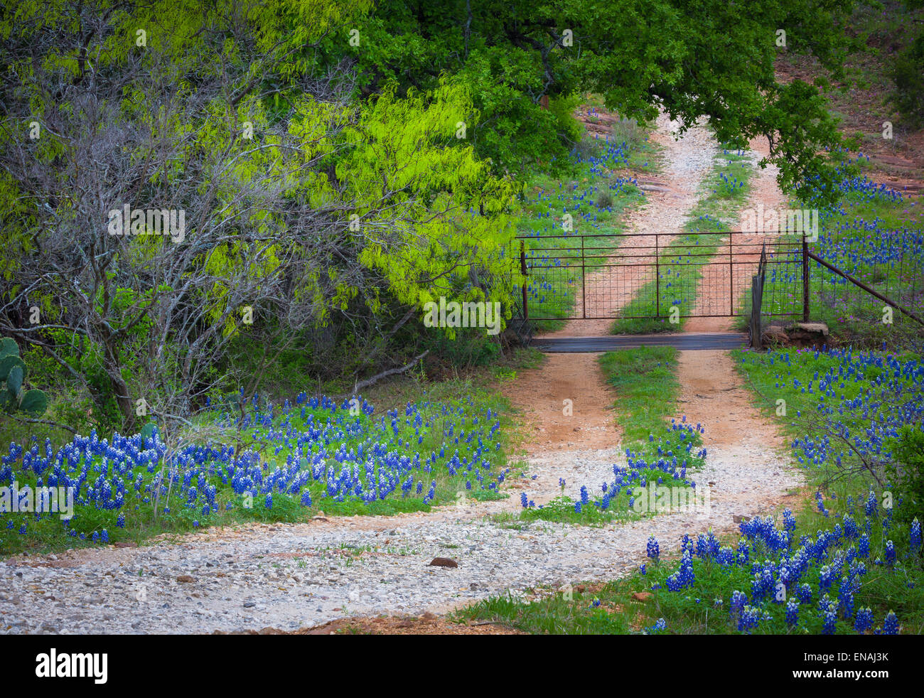Small gravel road lines with bluebonnets, near Willow City in the Texas Hill Country - Stock Image
