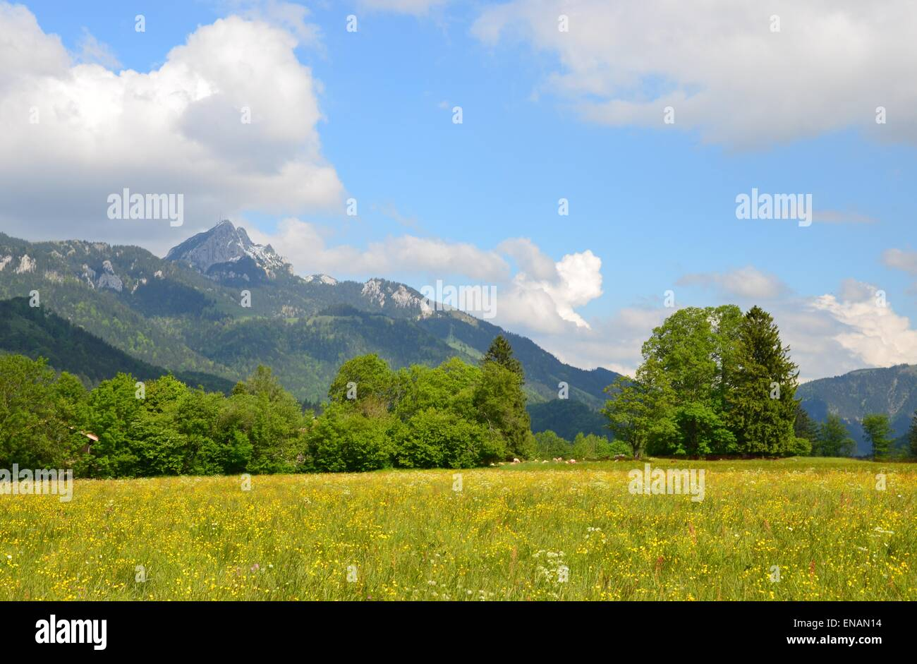 spring flowers in the meadows between Neuhaus and Bayrischzell at the foot of Wendelstein. - Stock Image