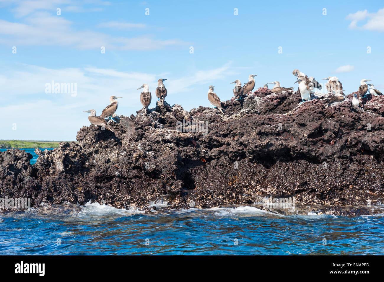 Galapagos Blue-footed Booby (Sula nebouxii excisa), Elisabeth Bay, Isabela Island, Galapagos, Ecuador - Stock Image