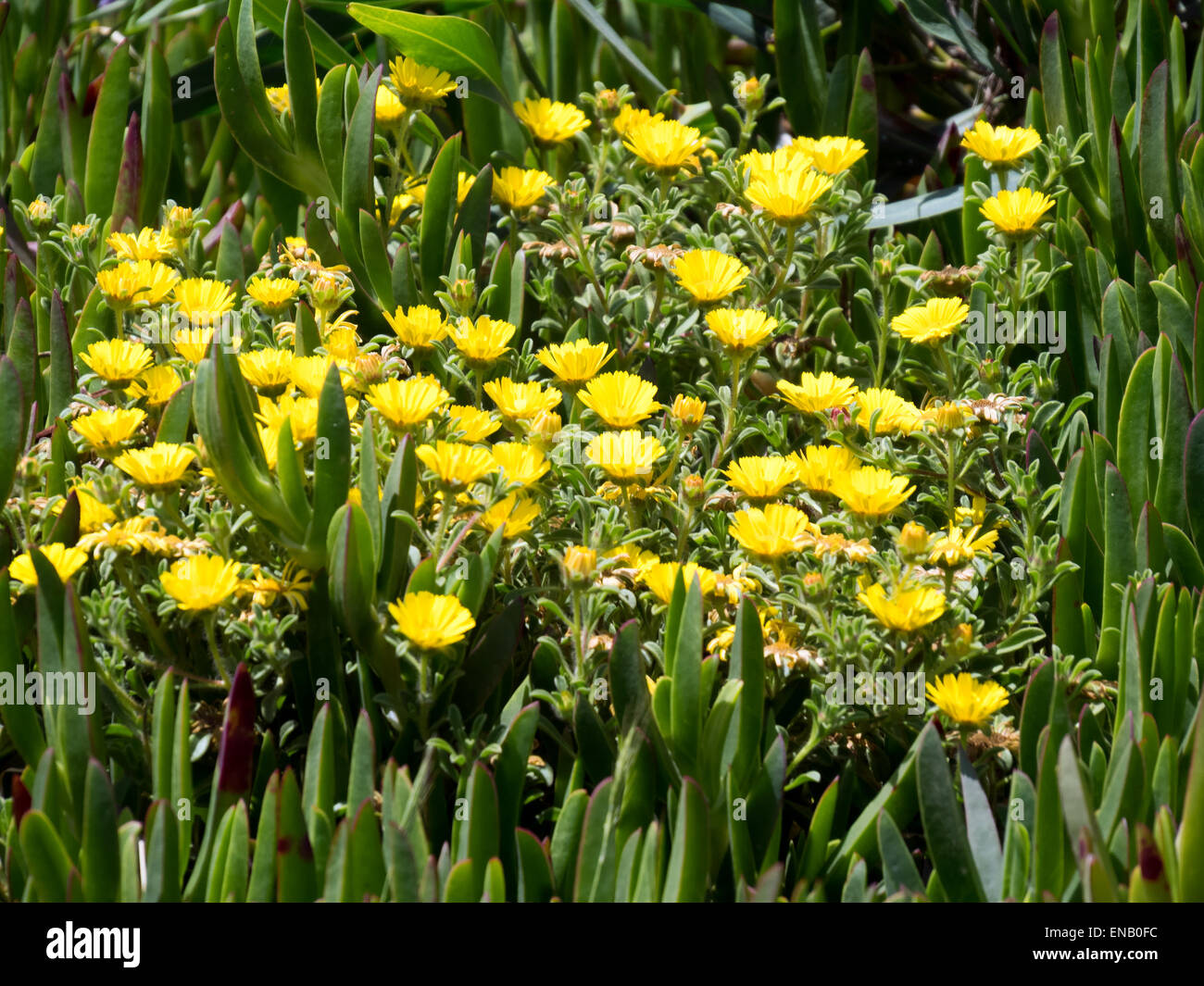 Gold Coin, Mediterranean Beach Daisy (Asteriscus maritimus, Bubonium maritimum) - Stock Image
