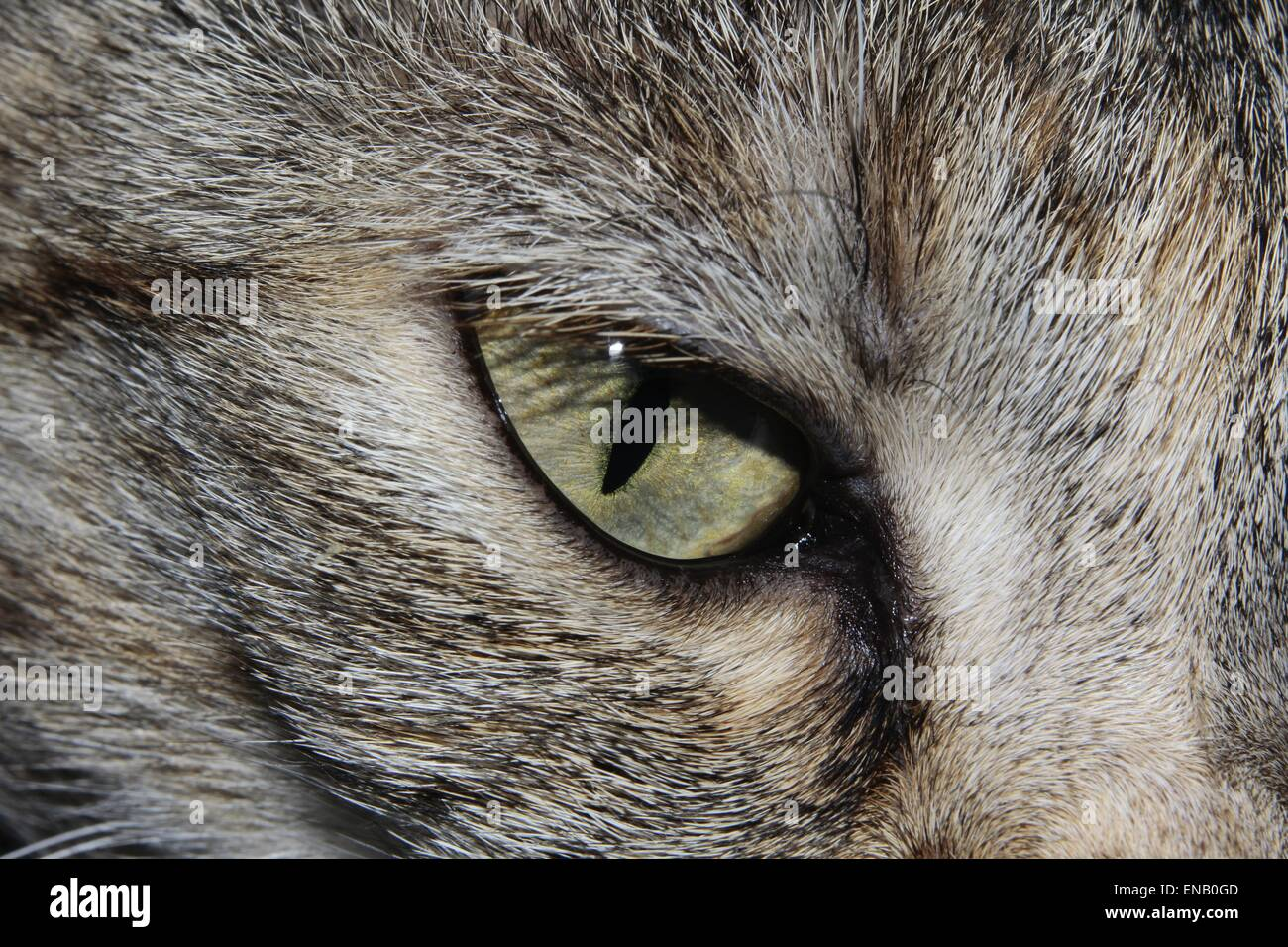 Close-up of a tabby cats eye - Stock Image