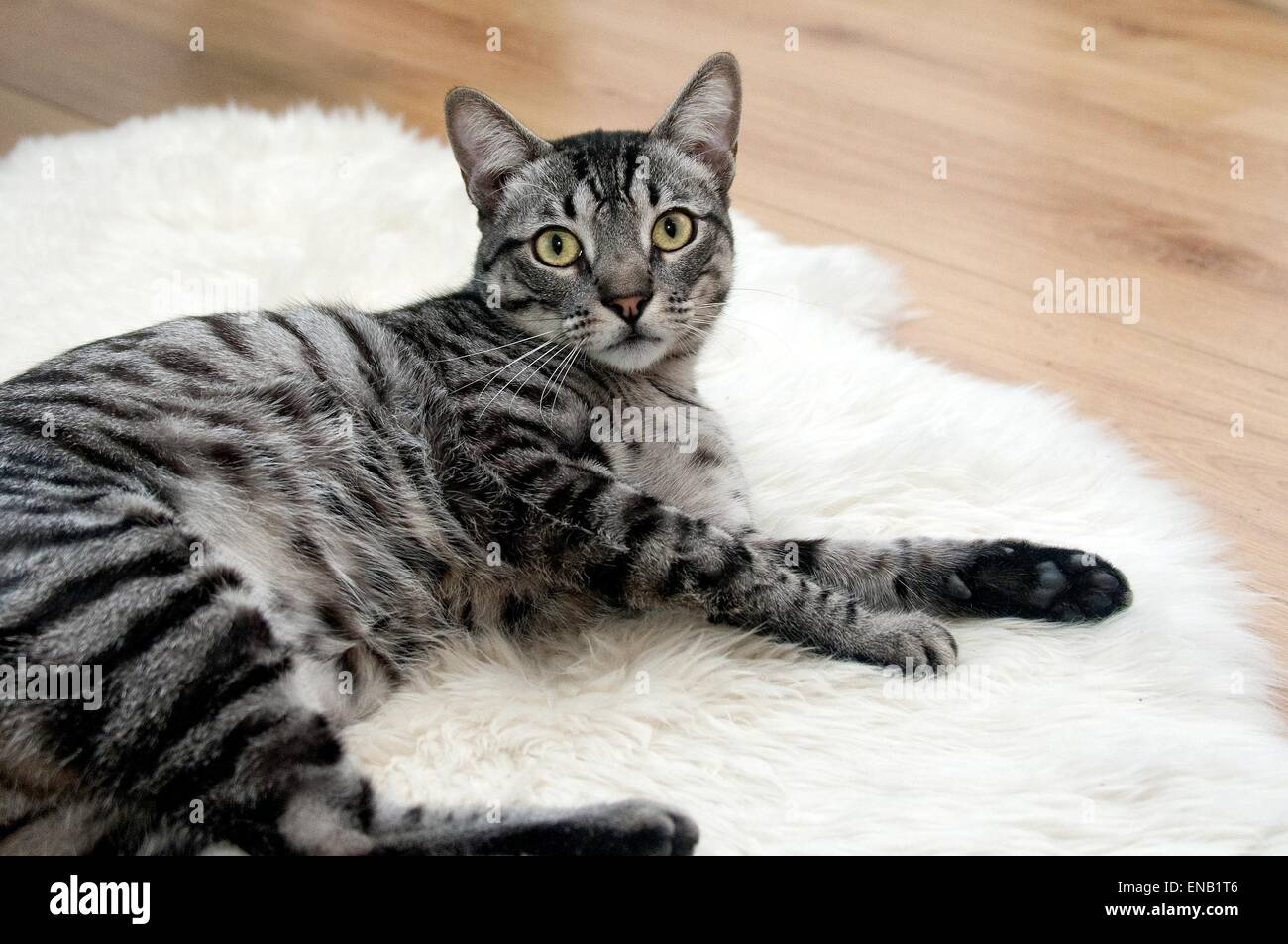 Tabby cat laying on a white rug indoors - Stock Image