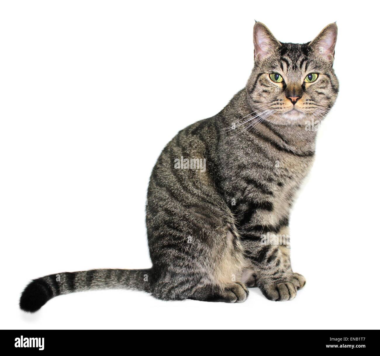 Tabby cat sitting on white background - Stock Image