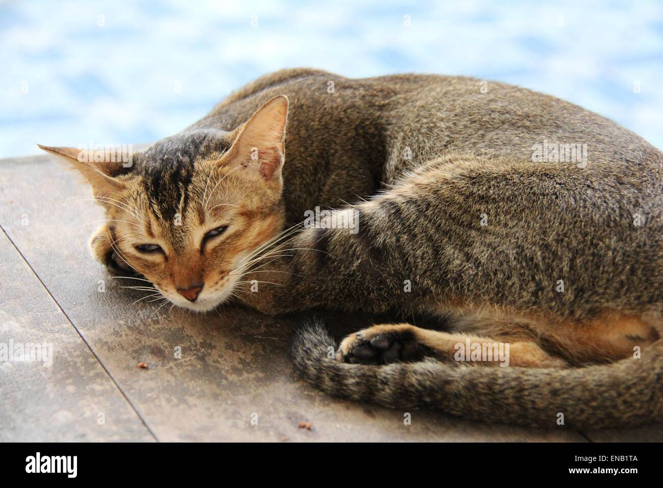 Tabby cat sleeping outside by pools edge under sunlight - Stock Image