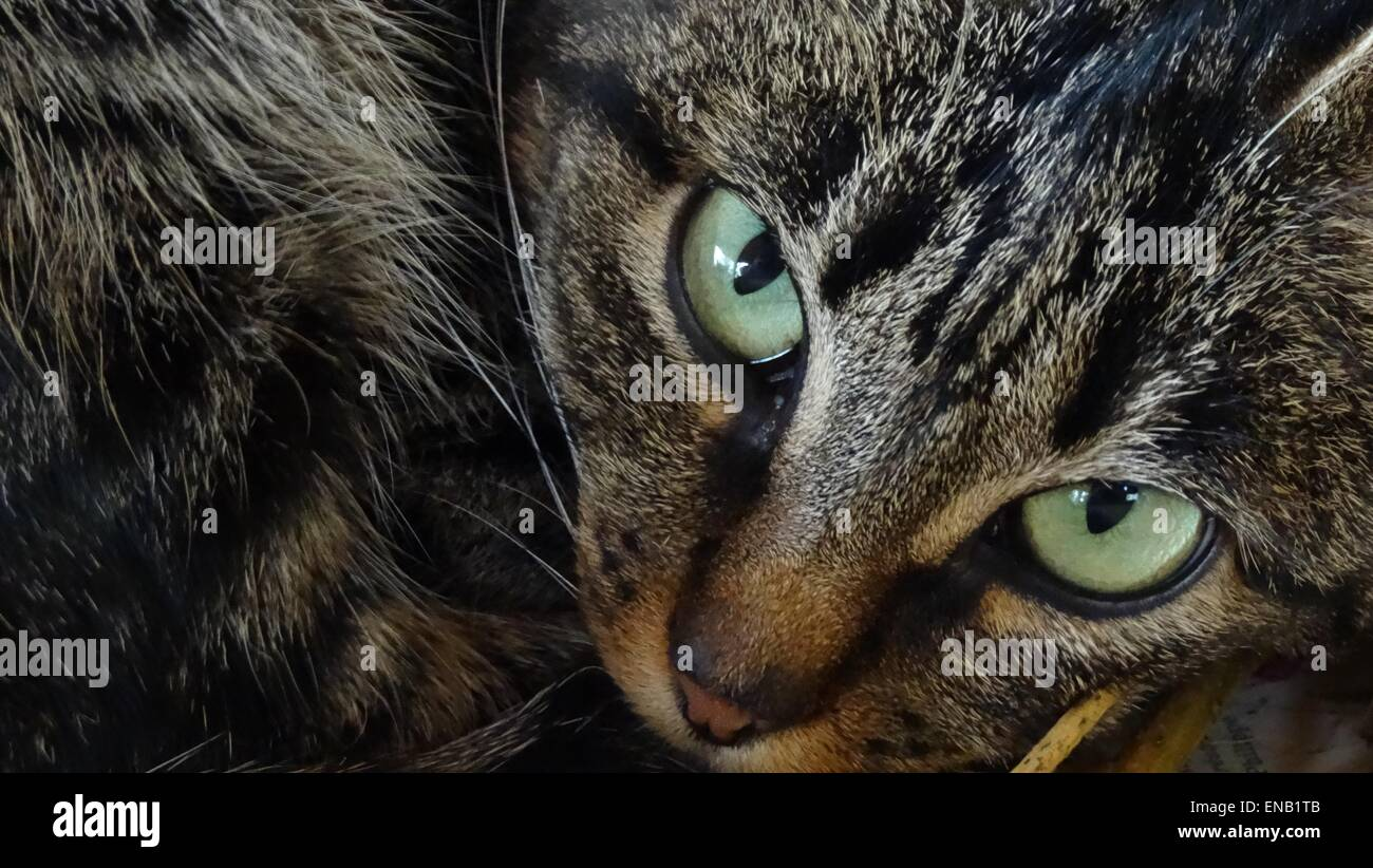 Close up of a tabby cats eyes - Stock Image