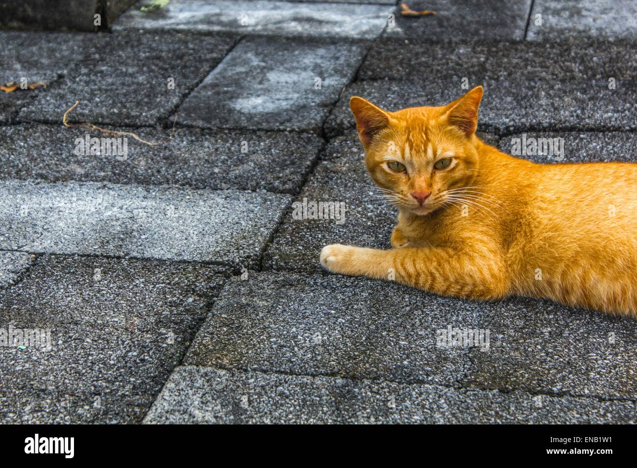 Ginger tabby cat laying down on stone outside - Stock Image