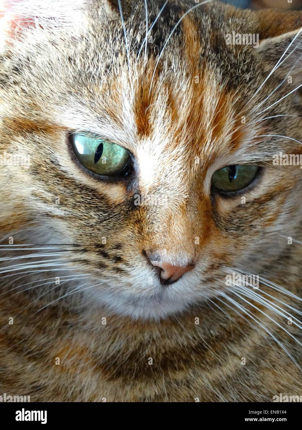 Close up of a tabby cat looking down - Stock Image