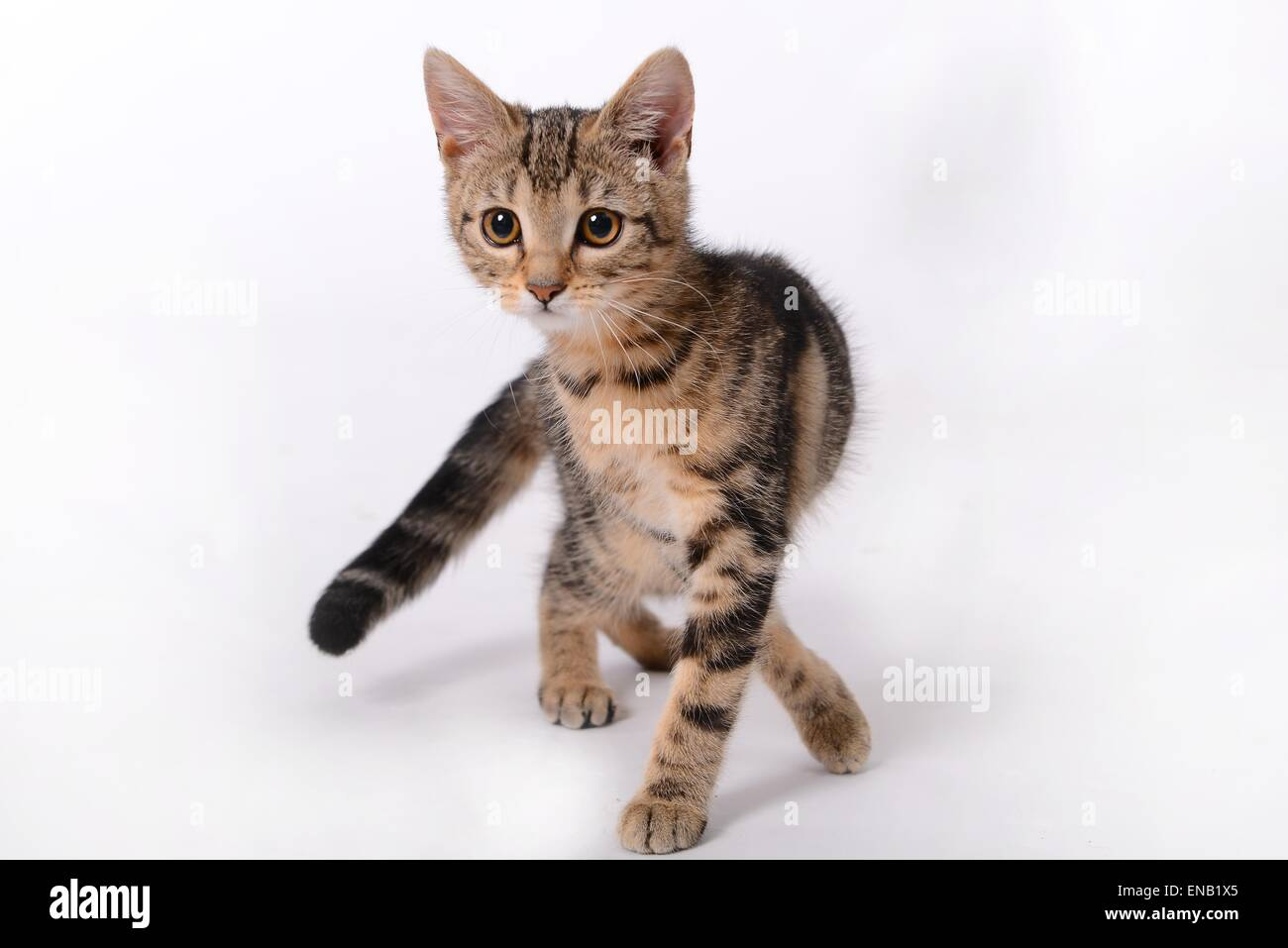 Tabby kitten on a white background in a standing pose - Stock Image