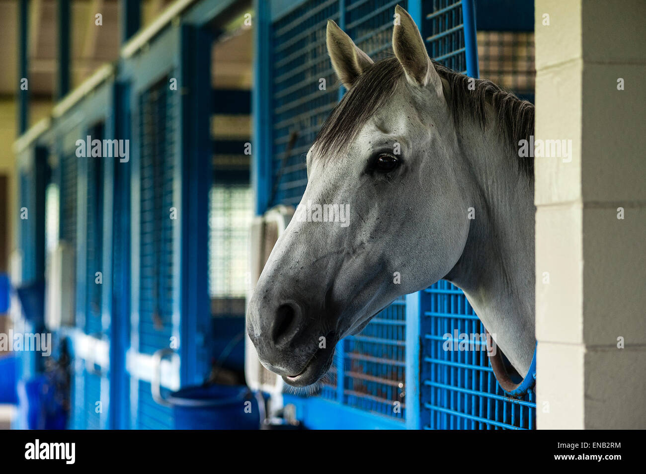 Race horse in stable. - Stock Image