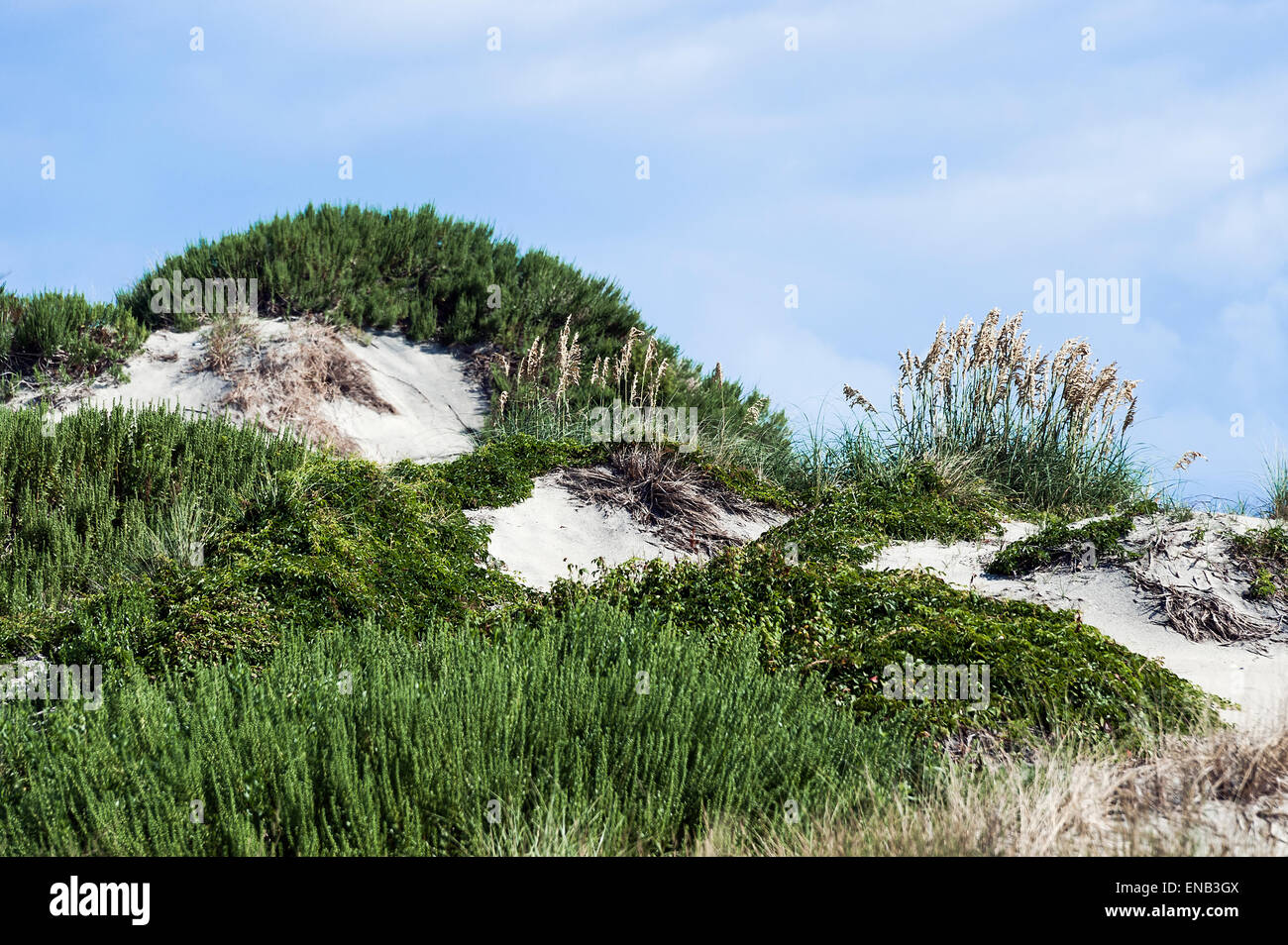Dune mound and sea oats, Outer Banks, North Caolina, USA - Stock Image