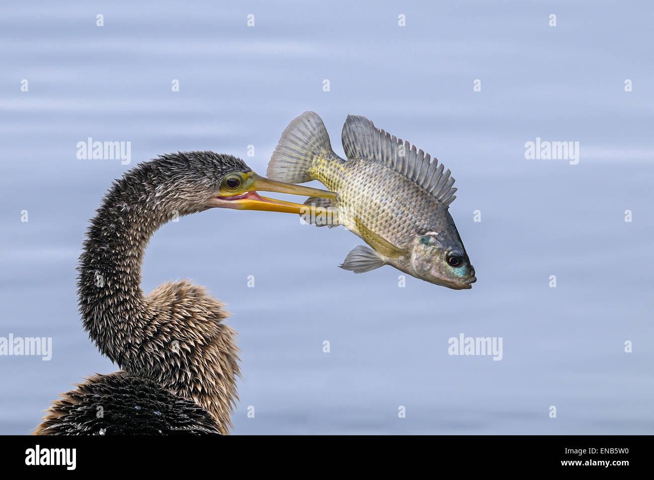 anhinga, anhinga anhinga - Stock Image
