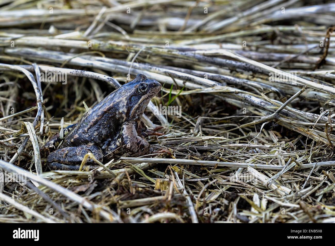rana temporaria, common frog - Stock Image
